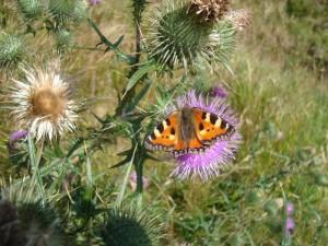 Motýlek a bodlák